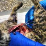 Вскрытие кошки с почечной недостаточностью после стерилизации 2017 (29)