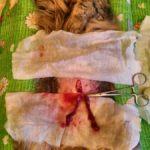 Вскрытие кошки с почечной недостаточностью после стерилизации 2017 (3)