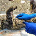 Вскрытие кошки с почечной недостаточностью после стерилизации 2017 (30)