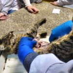 Вскрытие кошки с почечной недостаточностью после стерилизации 2017 (9)