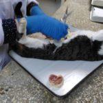 Вскрытие кота, некроз мочевого пузыря 2017 (11)
