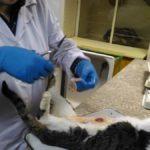 Вскрытие кота, некроз мочевого пузыря 2017 (22)