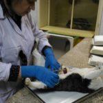 Вскрытие кота, некроз мочевого пузыря 2017 (8)