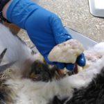 Вскрытие кота, некроз мочевого пузыря 2017 (9)