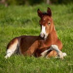 American Paint Foal, Iowa