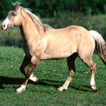 Bundy, Palomino Quarter Horse