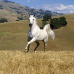 Galloping White Stallion