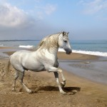 Grey Andalusian by the Sea
